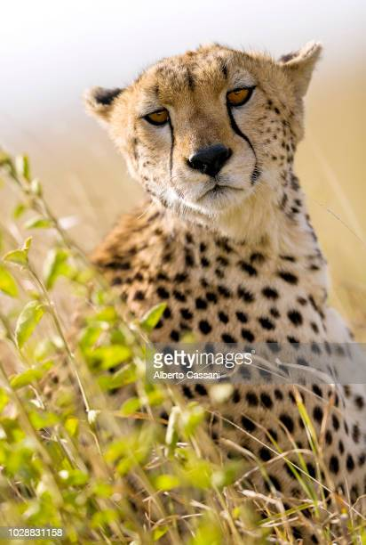 cheetah portrait in serengeti. - cheetah stock pictures, royalty-free photos & images