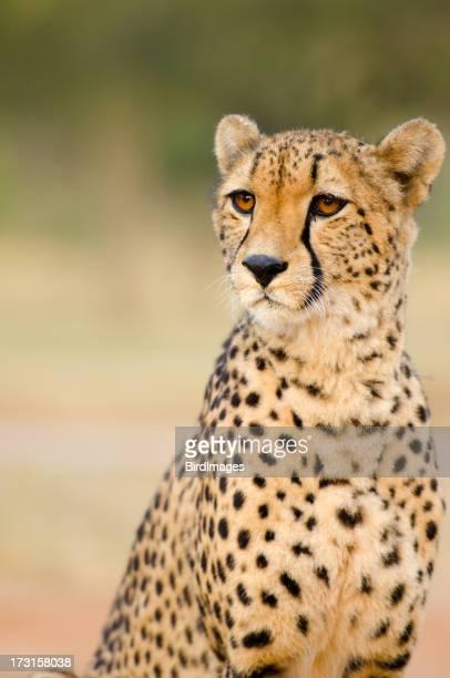 Gepard Porträt-South Africa