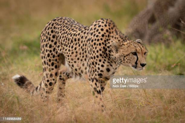 Cheetah Prowls Through Grass With Lowered Head