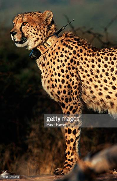 Cheetah (Acinonyx jubatus) Radio collar used in research project to monitor movement. Africat Foundation, Namibia , Africa