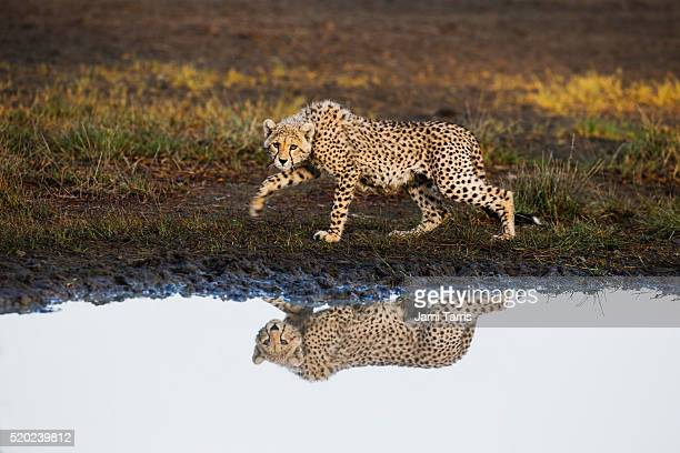 a cheetah reflected while walking along a water hole - waterhole stock pictures, royalty-free photos & images