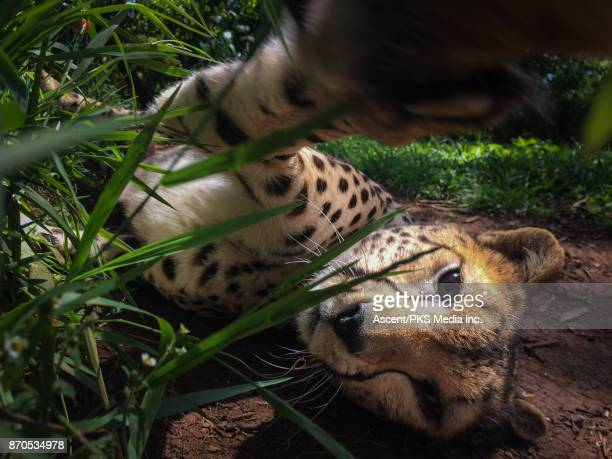 Cheetah relaxes in captivity, playful