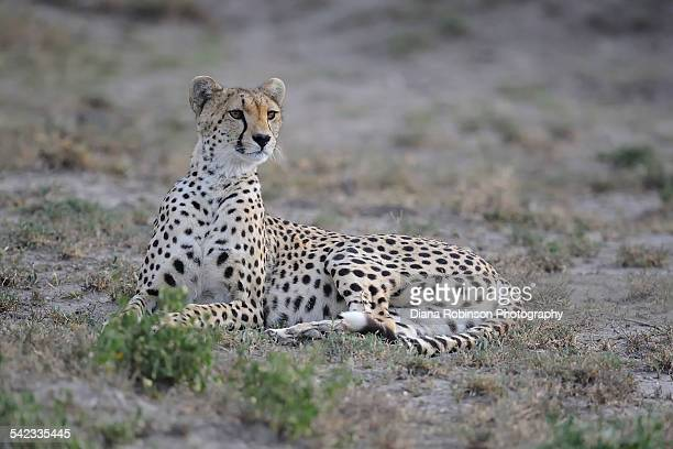 Cheetah resting in Udutu Conservation Area