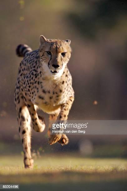 Cheetah (Acinonyx jubatus) running at The De Wildt Cheetah and Wildlife Trust, near Bela-Bela, North West Province, South Africa