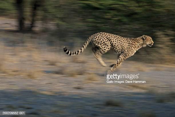 Cheetah (Acinonyx jubatus) running in field, side view