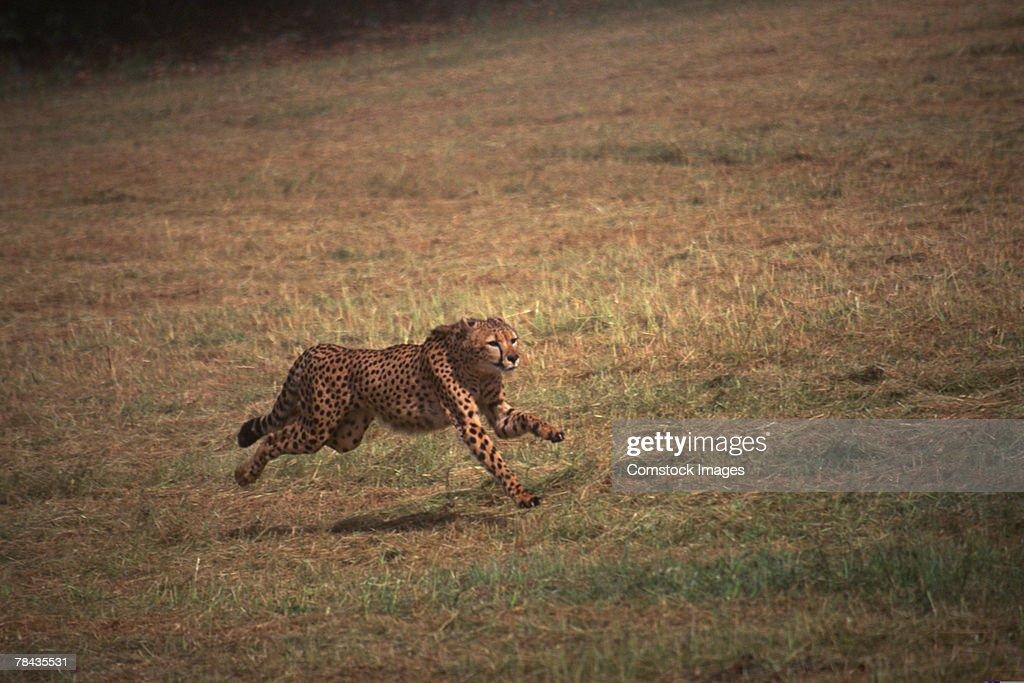 Cheetah running in grasslands , Kenya , Africa : Stockfoto