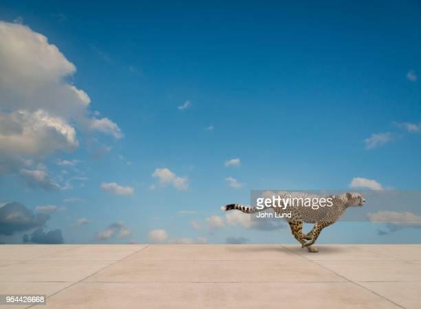 Cheetah Running On Concrete