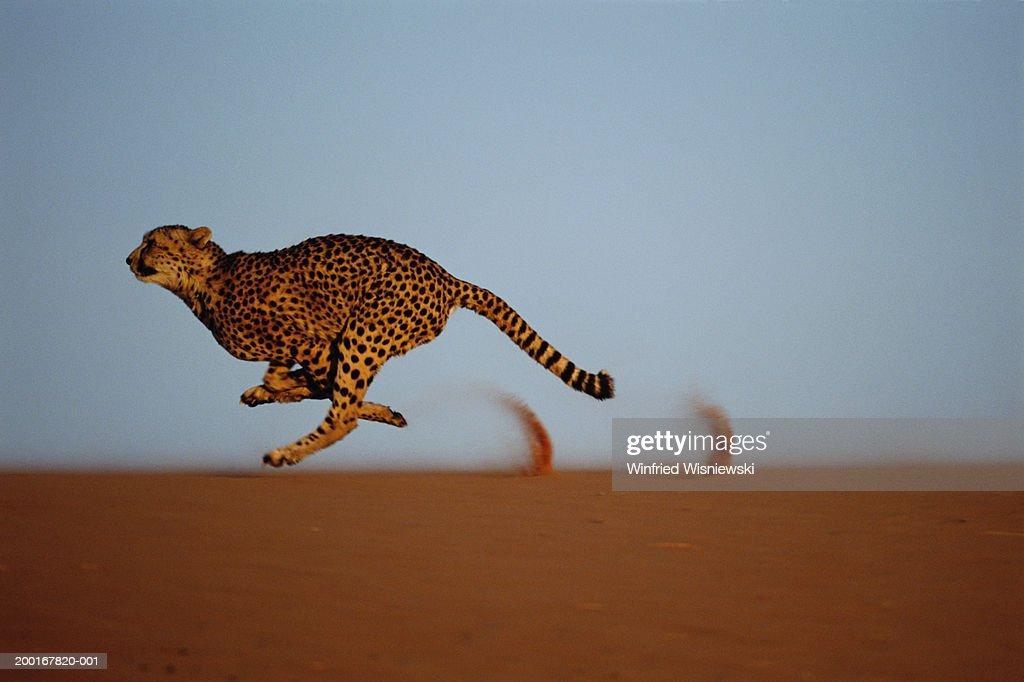 Cheetah (Acinonyx jubatus) running on dune ridge, profile : Stock Photo