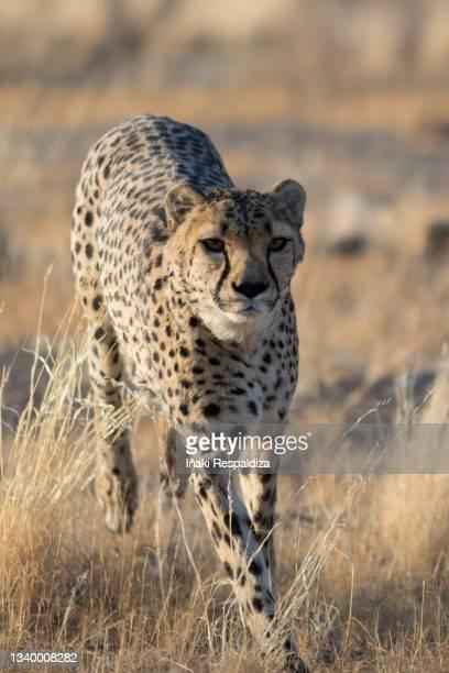 cheetah running - iñaki respaldiza stock-fotos und bilder