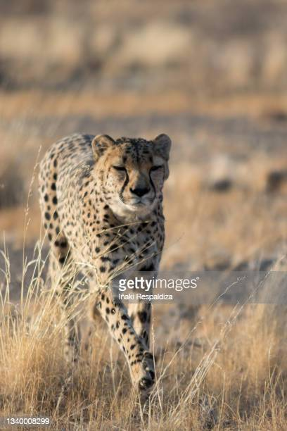 cheetah running - iñaki respaldiza stock pictures, royalty-free photos & images