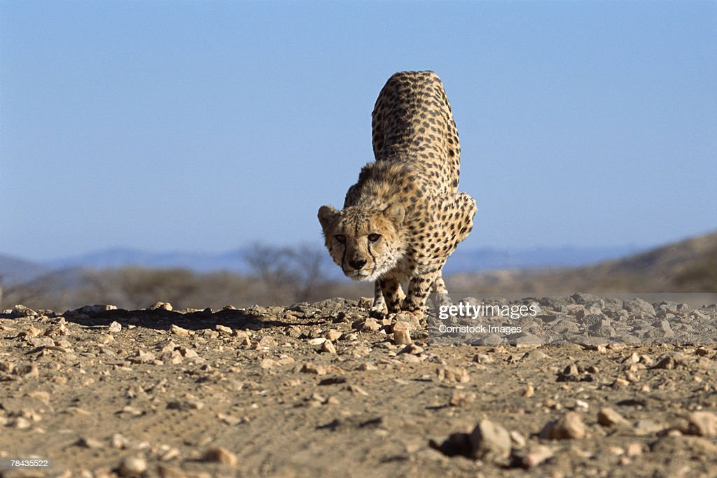 Cheetah running through dirt , Namibia , Africa : Foto de stock