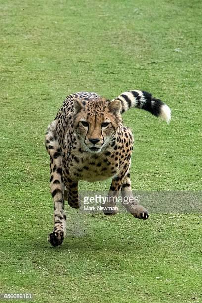Cheetah running top speed
