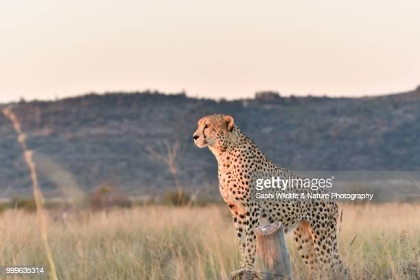 Cheetah Scanning for Prey