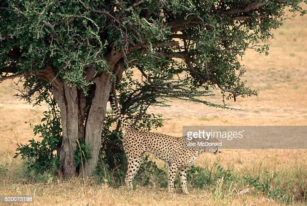 Cheetah Scent-Marking a Tree