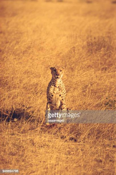 cheetah searching