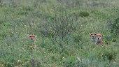 cheetah acynonix jubatus seronera serengeti national