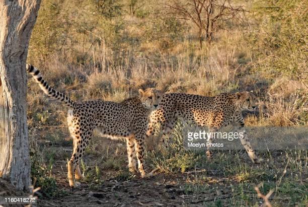 cheetah siblings marking territory - マーキング ストックフォトと画像