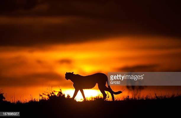 Gepard Silhoette