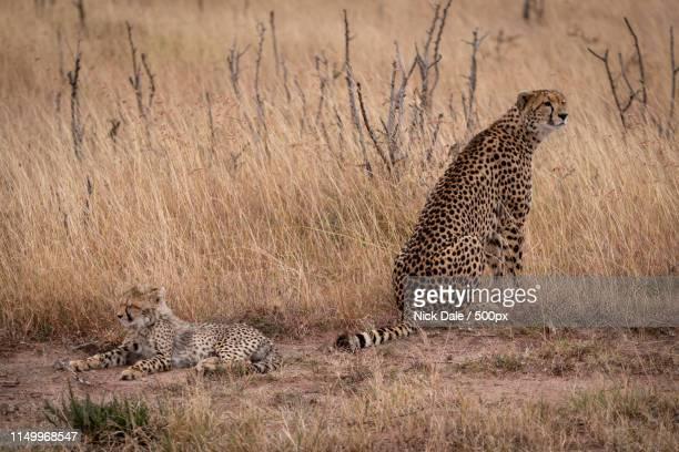 Cheetah Sits Beside Cub Lying In Grass