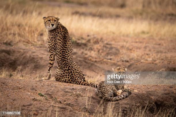 Cheetah Sits Beside Cub On Earth Mound