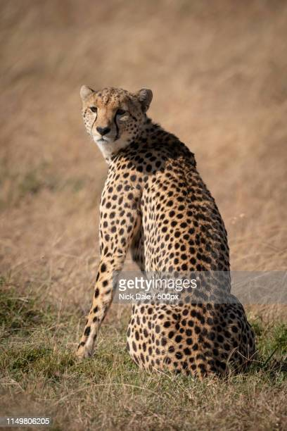 Cheetah Sits In Dry Grass Looking Back