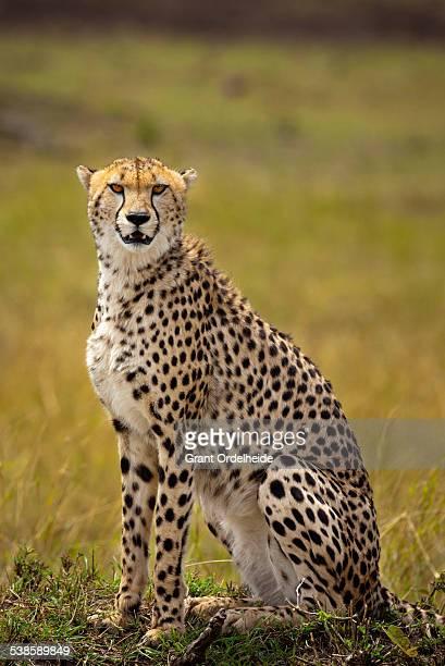 A Cheetah (Acinonyx jubatus) sits in Kenyas Masai Mara.