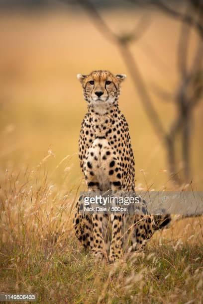 Cheetah Sits In Long Grass Facing Camera