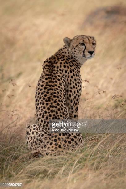 Cheetah Sits In Long Grass Turning Head