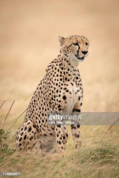 Cheetah Sits Looking Right In Long Grass