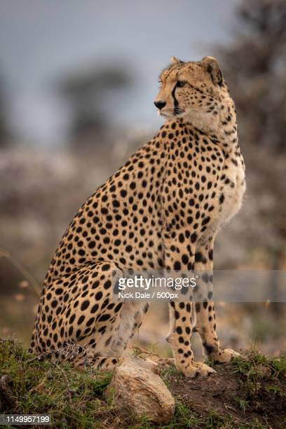 Cheetah Sits On Grassy Mound Looking Back