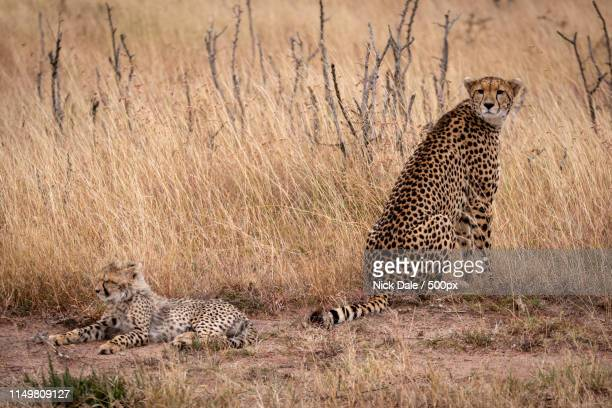 Cheetah Sits With Cub Lying In Grass