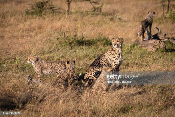 Cheetah Sits With Four Cubs On Savannah