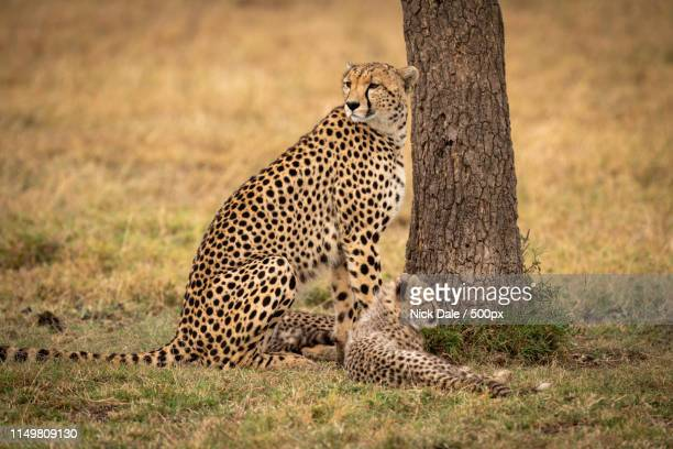 Cheetah Sits With Her Cub By Tree