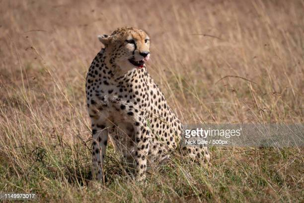 Cheetah Sitting In Grass With Bloody Mouth