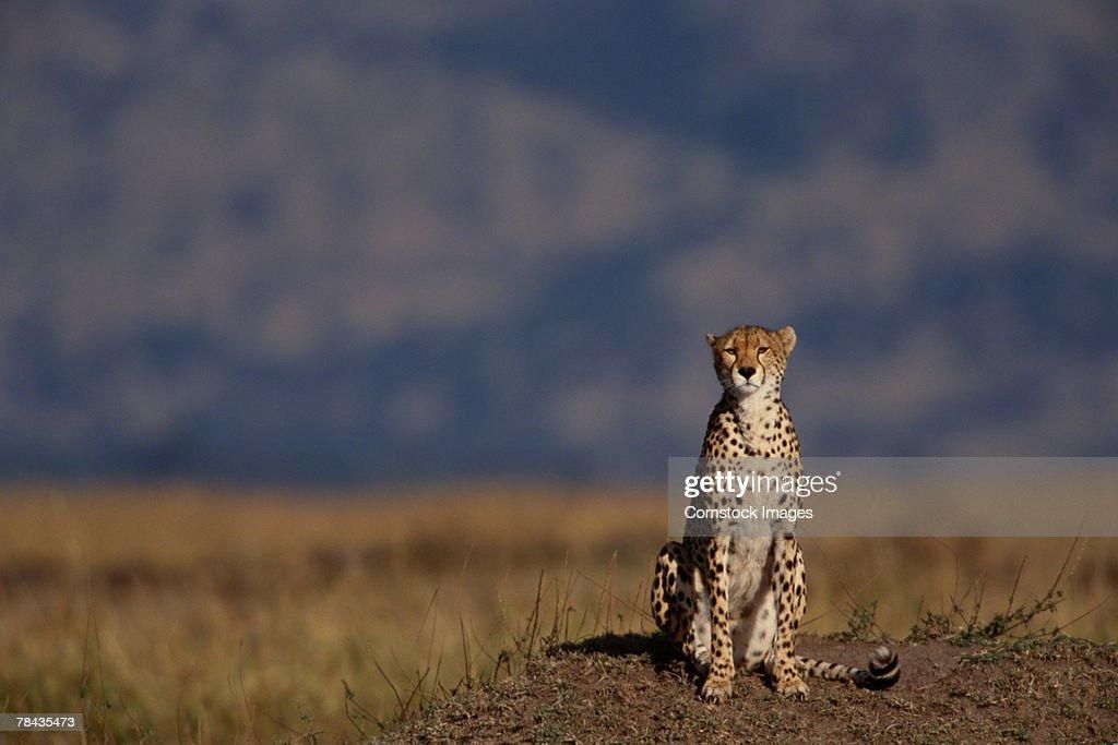 Cheetah sitting in grasslands , Kenya , Africa : Stockfoto