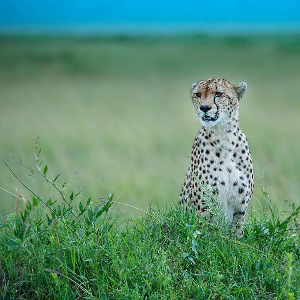 Cheetah sitting in the green plains, Masai Mara, Kenya