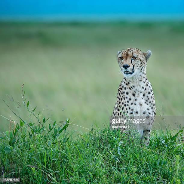 Guépard assis dans la green plains, Masai Mara, Kenya