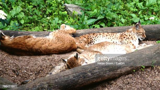cheetah sleeping stock photos and pictures getty images