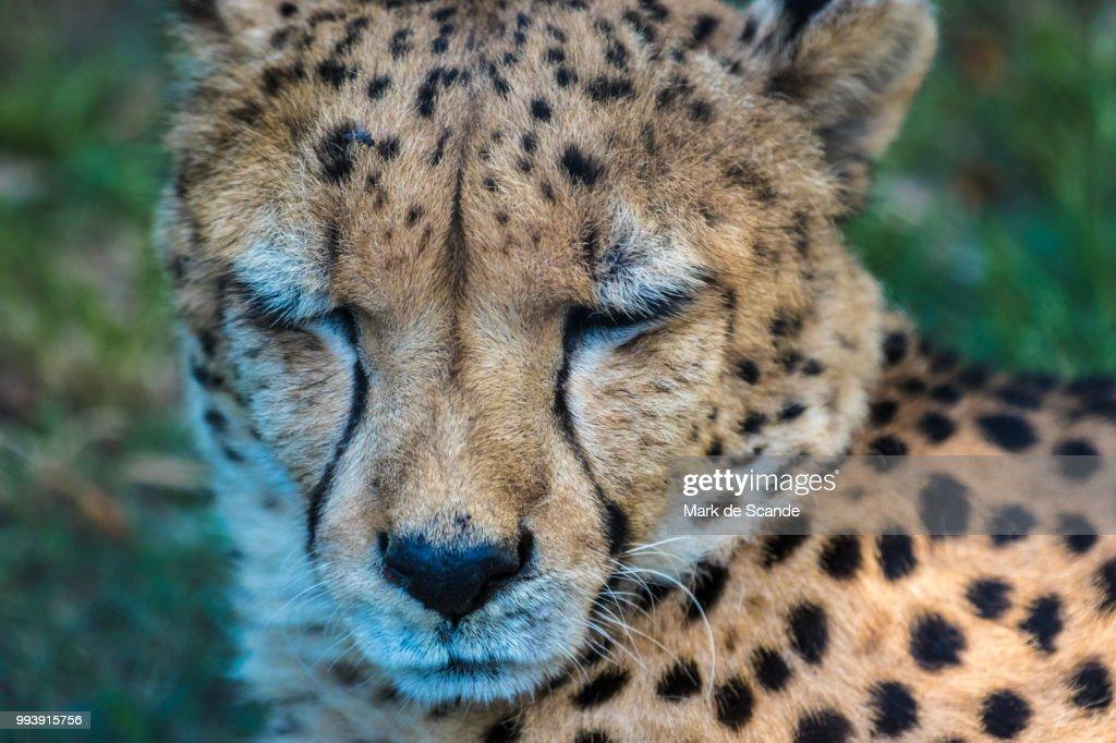 cheetah sleeping stock photo getty images