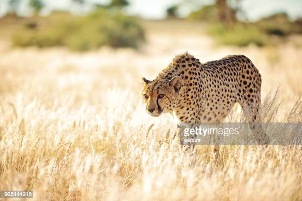 cheetah slowly approaching in golden grass - cheetah stock pictures, royalty-free photos & images