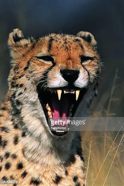 Cheetah snarling close-up  (Acinonyx jubatus)