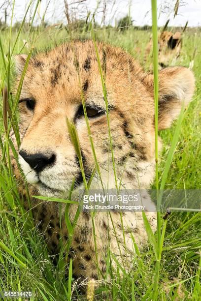 Cheetah, Southern Namibia, Africa