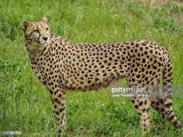 a cheetah standing in the grass. acinonyx jubatus. - mottled skin stock pictures, royalty-free photos & images