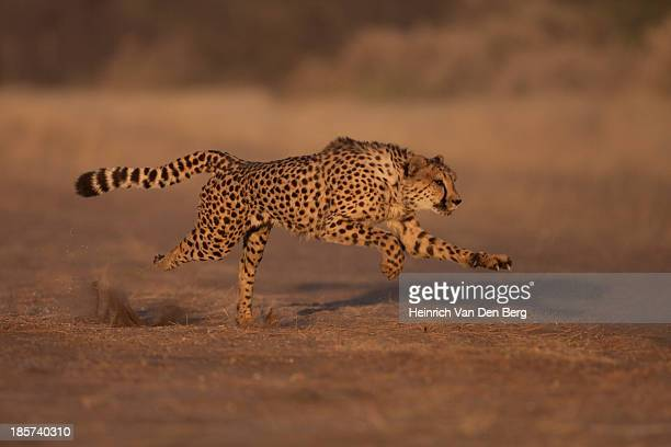 a cheetah standing majestically. - dark panthera stock pictures, royalty-free photos & images