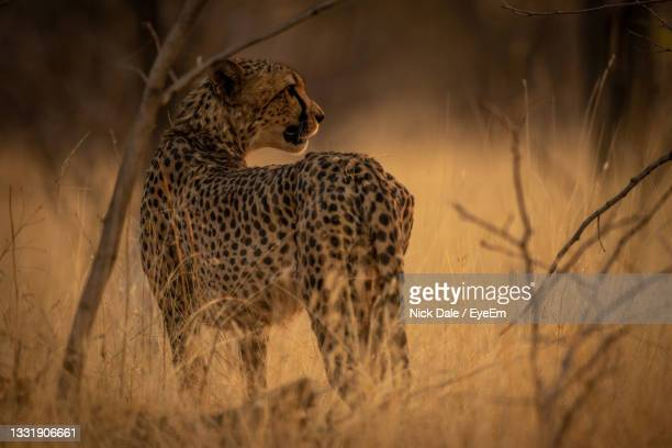 cheetah stands in bushes looking over shoulder - looking over shoulder ストックフォトと画像