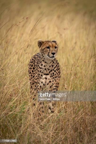 Cheetah Stands In Long Grass On Savannah