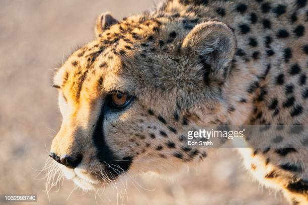cheetah stare - don smith stock pictures, royalty-free photos & images