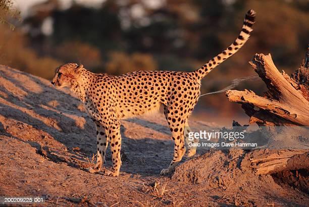 Cheetah (Acinonyx jubatus) urinating, side view
