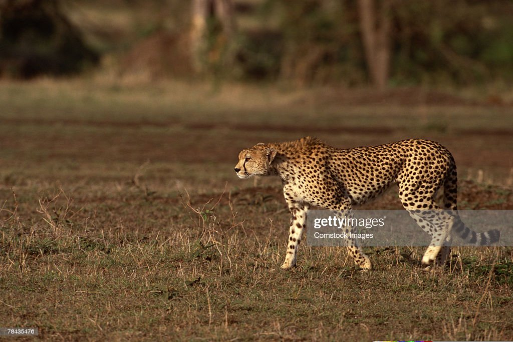 Cheetah walking in grasslands , Kenya , Africa : Foto de stock