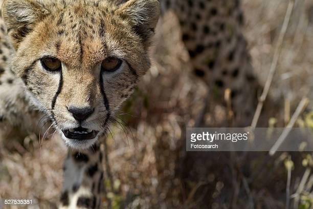 Cheetah walking in long grass
